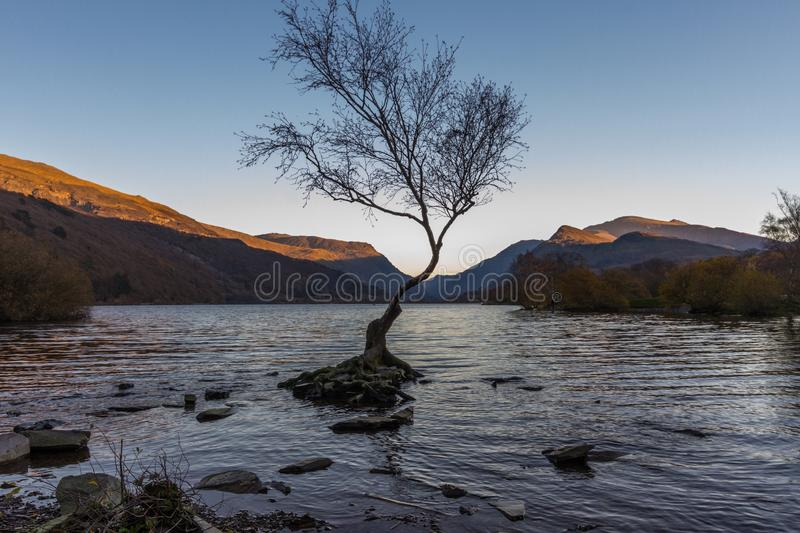 The lone tree on evening, Llanberis, North Wales Autumn light. Lone Tree in Lake Padarn with Snowdonia Welsh mountains in the background, Llanberis, Autumn or stock photography