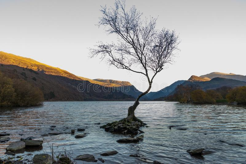 The lone tree on evening, Llanberis, North Wales Autumn light, last of the day. Lone Tree in Lake Padarn with Snowdonia Welsh mountains in the background royalty free stock photo