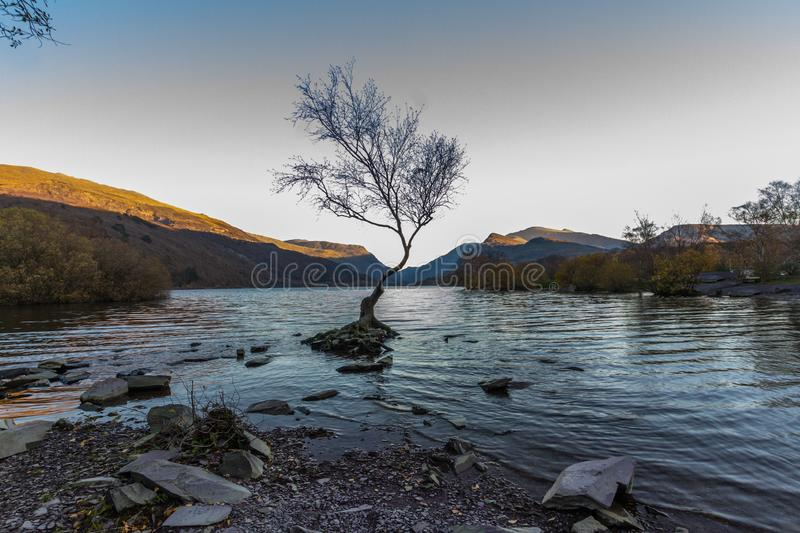 The lone tree on evening, Llanberis, North Wales. Lone Tree in Lake Padarn with Snowdonia Welsh mountains in the background, llanberis stock photo