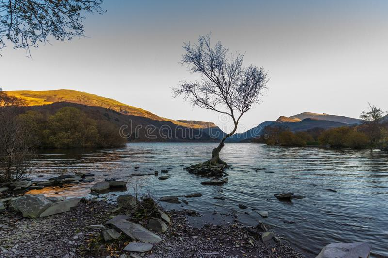 The lone tree on evening, Llanberis, North Wales, Wide angle. Wide angle of Lone Tree in Lake Padarn with Snowdonia Welsh mountains in the background, llanberis royalty free stock photo