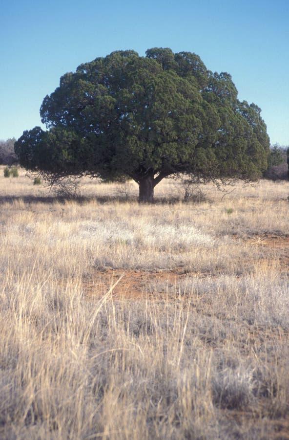 lone tree för grässlättar arkivbild