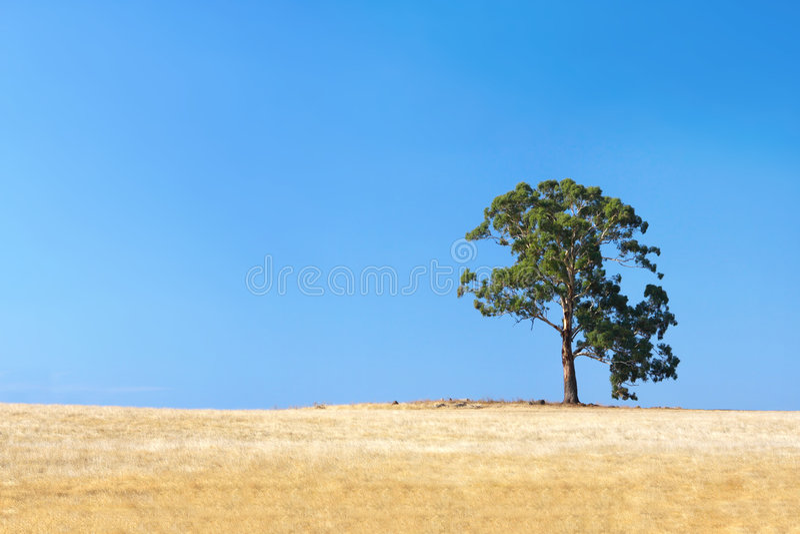 lone tree för gummi arkivfoton