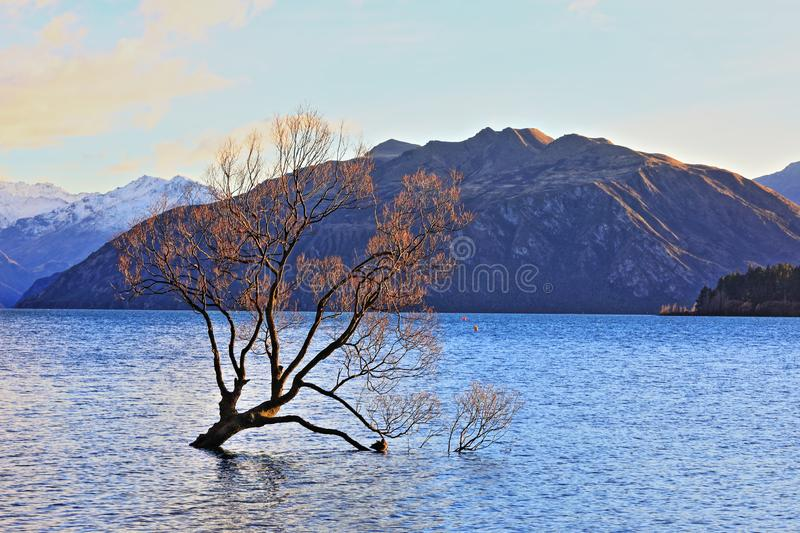 The Lone Tree Famous Lake Wanaka Landmark. The Lone tree, a single tree that grows over the waters of Wanaka Tree is one of the most instagrammable objects on royalty free stock photo