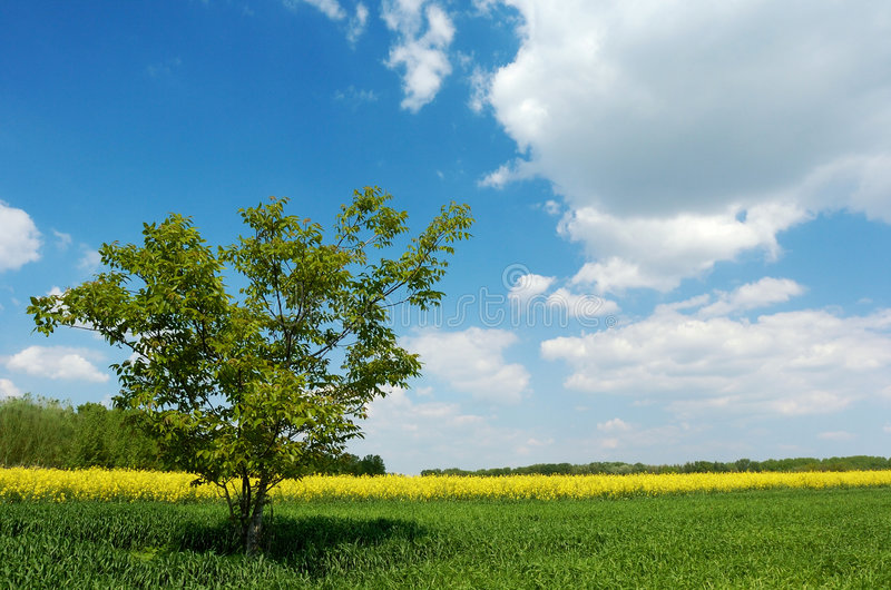 Lone tree in a field stock images