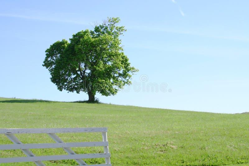 Lone Tree in Field
