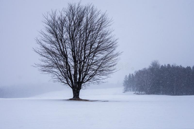 Lone tree in the field. Snowy day in New Brunswick, Canada. lone tree in a snow covered field royalty free stock photo