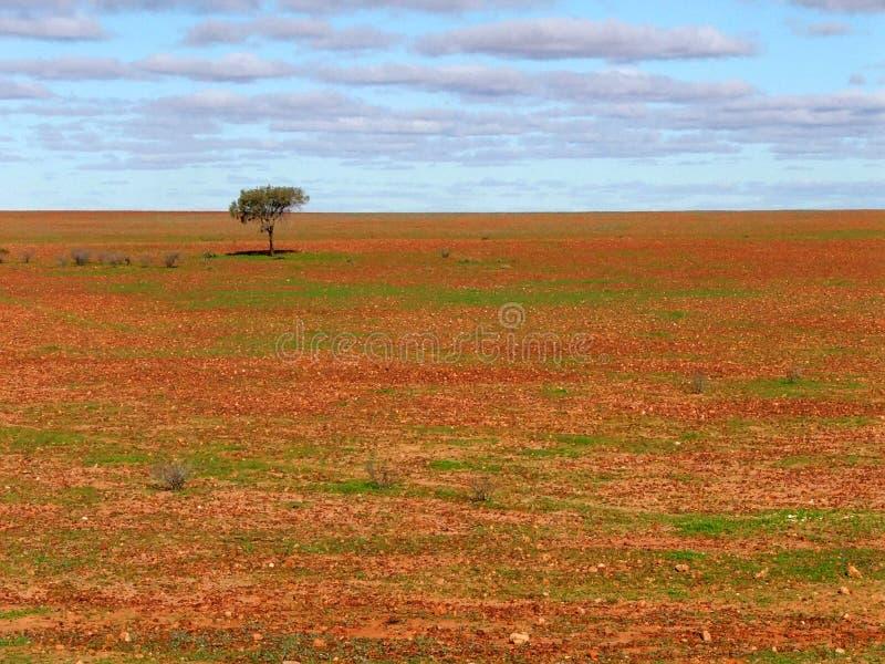 Lone tree on gibber plain. Sturt Desert, Australia stock photos