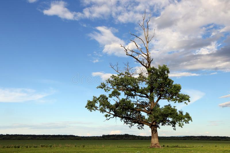 Lone Tree in Grass Field. Toward blue sky and white clouds stock image