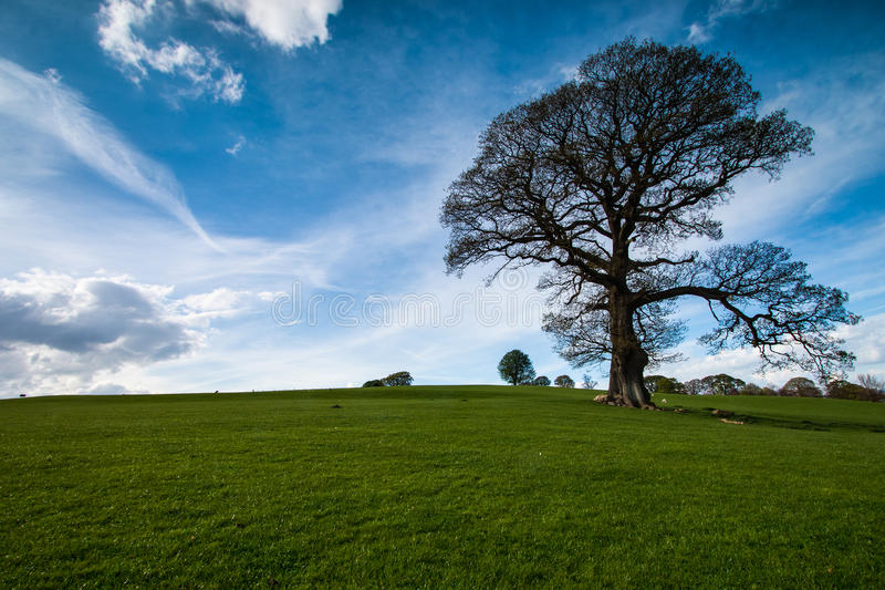 Lone tree in a green field. Against a blue sky in Lancashire England stock photo