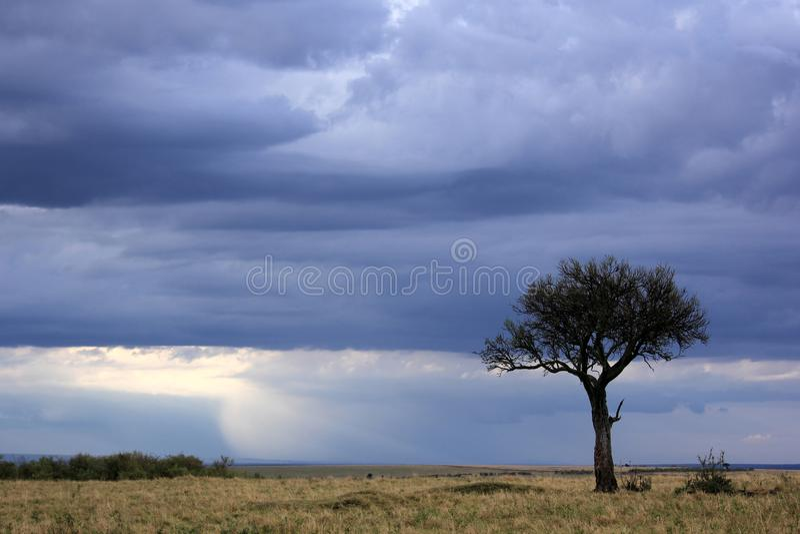 Lone tree i masaien Mara royaltyfri fotografi