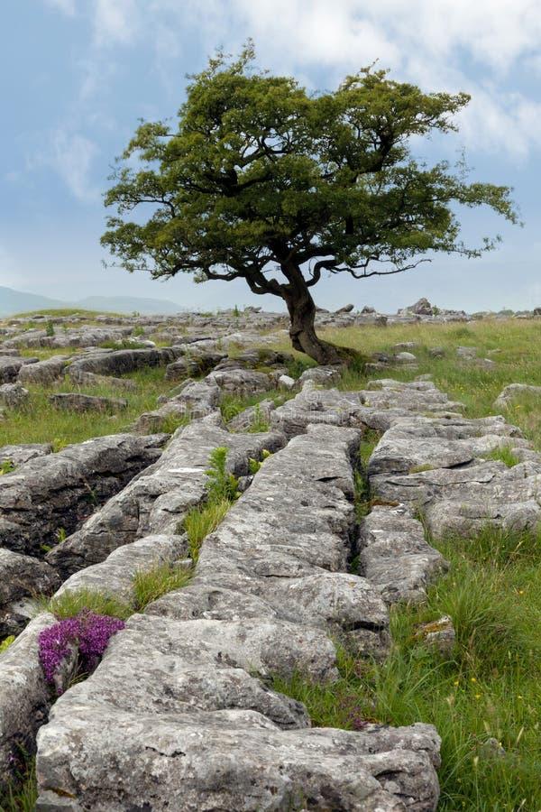 Lone tree with Limestone pavement stock image