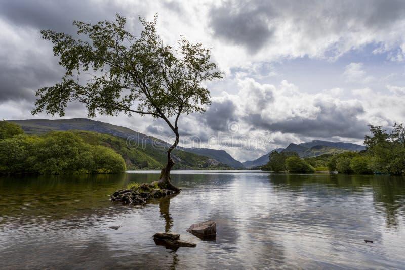 Lone Tree Llanberis. Lone tree at llyn Padarn at Llanberis royalty free stock images