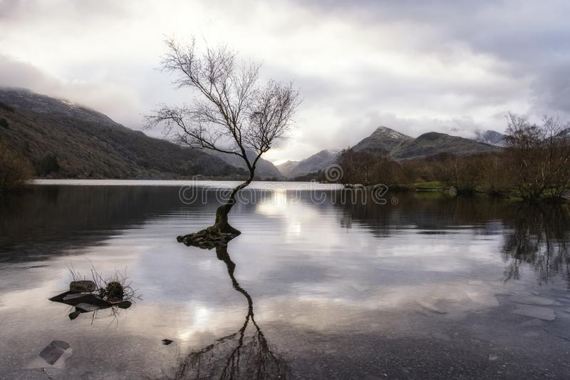 The Lone Tree - Llanberis North Wales UK. Llyn Padarn - Llyn Padarn, a site of Special Scientific Interest, is situated in the Llanberis Pass and nestles below royalty free stock image