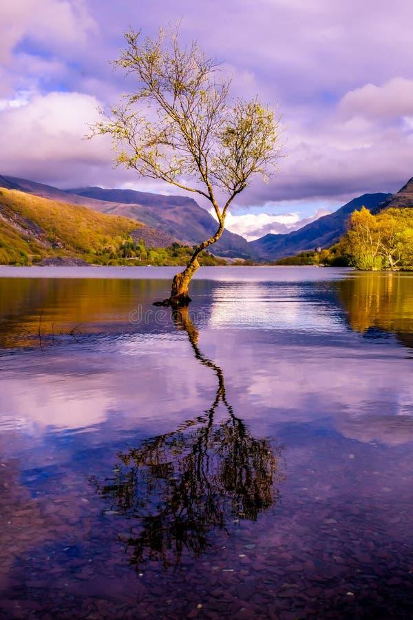 Lone Tree at Llanberis, Snowdonia National Park - Wales, United Kingdom royalty free stock photo