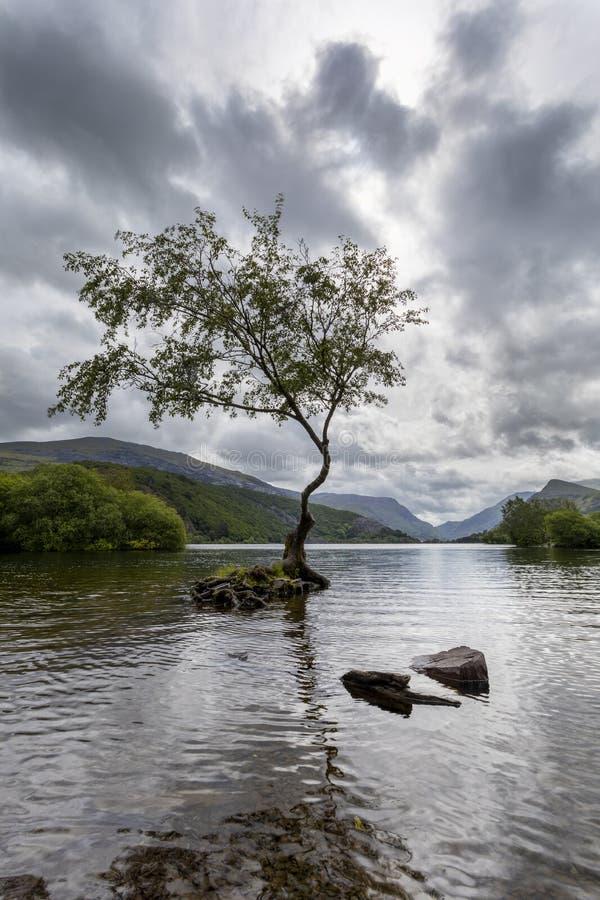 Lone Tree Llanberis vert. Lone tree at llyn Padarn at Llanberis vertical format stock image