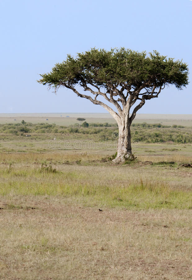 Lone tree in the Mara, Kenya. Lone tree in front of the rolling plains of the Masai Mara game park, Kenya. Tourist cars and zebra in the far background royalty free stock photo