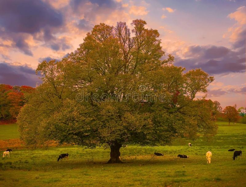 Lone tree. A mighty tree royalty free stock image