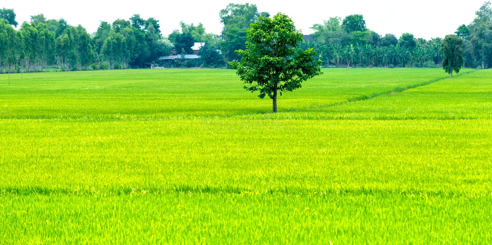 Lone tree in the rice fields. Lone tree on the green rice field with patches of yellow rice shoots of rice and are about nine created immense space and makes the royalty free stock photos