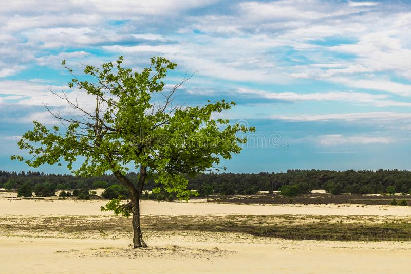 Lone tree on sand dunes. A shot of a lone tree standing in the sand dunes of De Loonse en Drunense Duinen, The Netherlands stock image