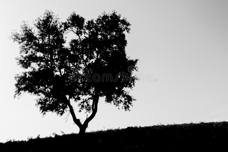 Lone Tree on a Slope. In Black and White royalty free stock image
