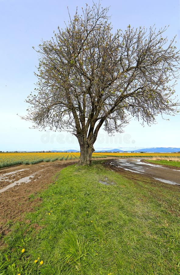 Lone Tree in Valley. Barren tree beginning to bud in early spring in Skagit Valley stock photography