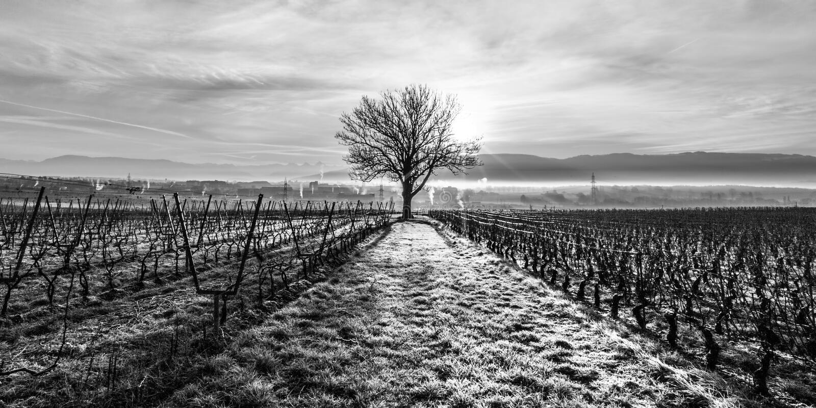Lone Tree and Vineyard. Lone Tree in Black and White at a Vineyard royalty free stock photo