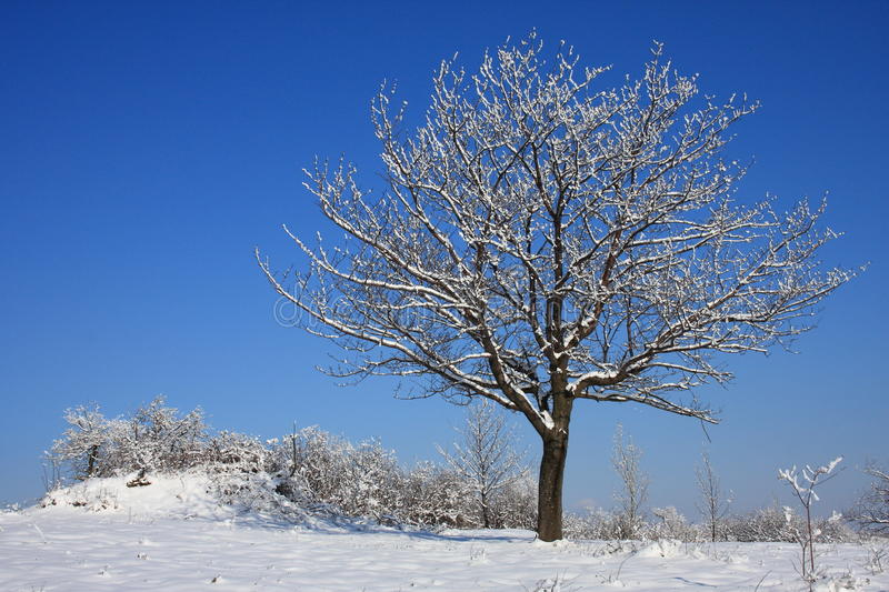 Download Lone tree in winter stock image. Image of white, tree - 12693923