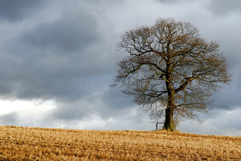 Lone tree in wintry landscape. At edge of field, rural scene royalty free stock images
