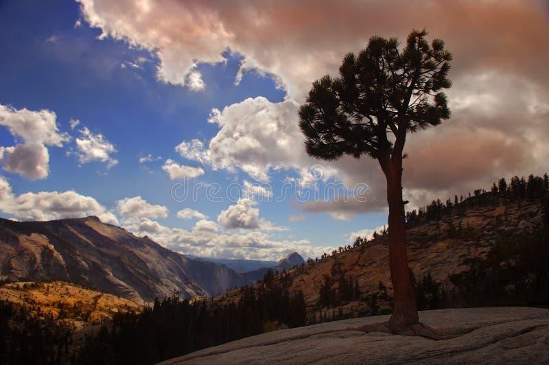 lone tree yosemite royaltyfri fotografi