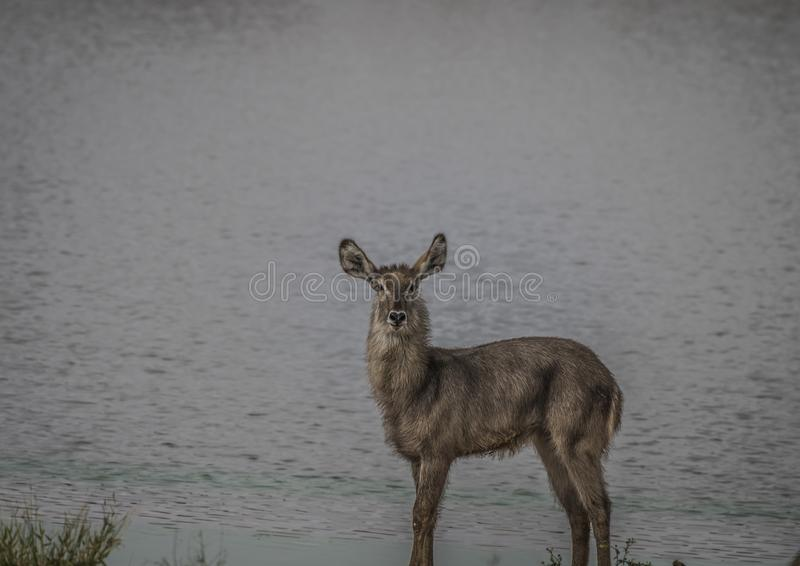Lone Waterbuck standing sideways at water edge and looking at camera. Kruger National Park, South Africa stock photo