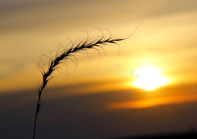Sprig of wheat..wheat sheaf...sunset wheat Manitoba sunset. Lone wheat sheaf, sprig of wheat against the manitoba prairie sky, sunset in the distance, lone stalk stock images