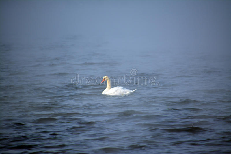 A lone white swan in the blue water royalty free stock photos