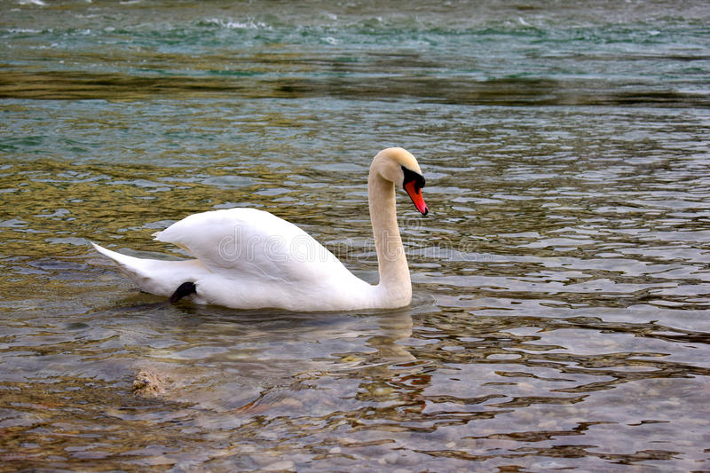 Lone white swan on a river royalty free stock photo
