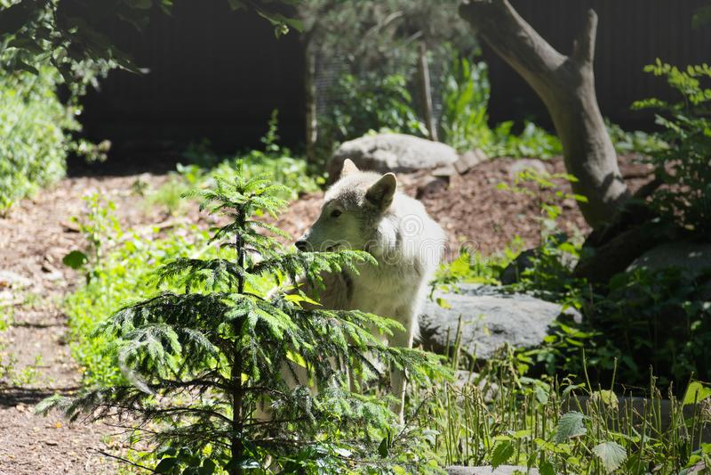 White wolf came to the edge royalty free stock photos