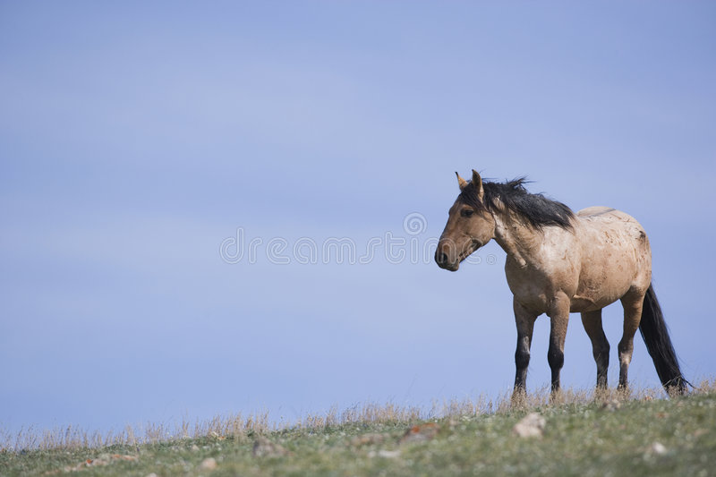 Lone wild horse. A wild horse watches over the area for other horses and predators royalty free stock photography