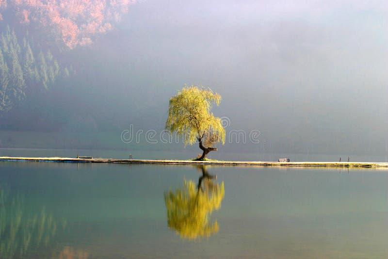 Lone willow tree stock photo