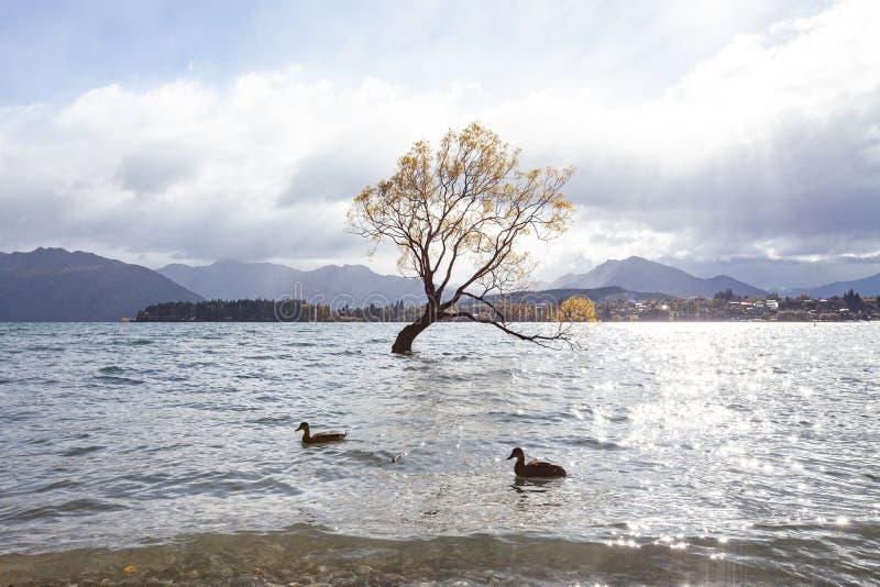 Lone willow tree at lake wanaka new zealand royalty free stock image