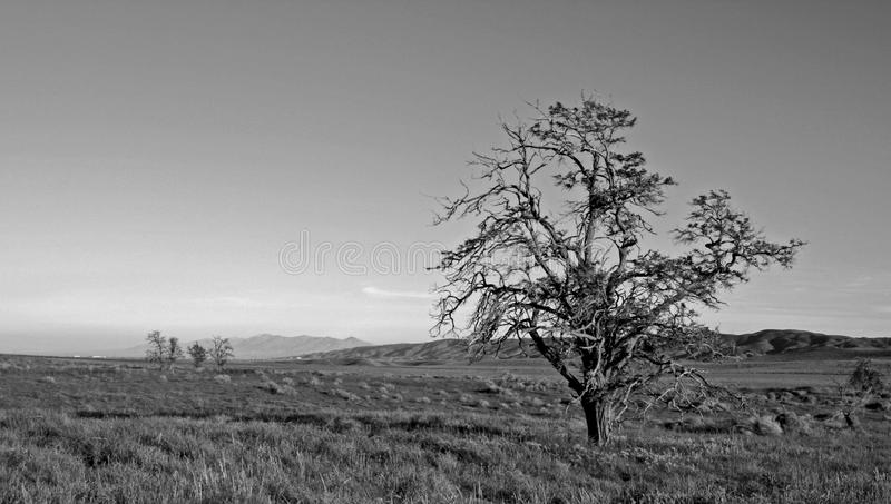 Lone Windblown Tree in the Antelope Valley in the high desert of Southern California USA - black and white stock images