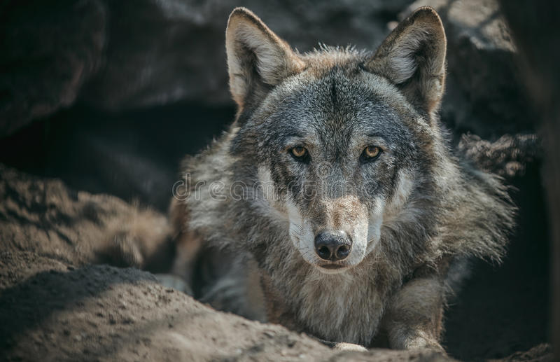 Lone wolf stock photo
