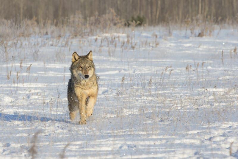 Lone wolf stock image