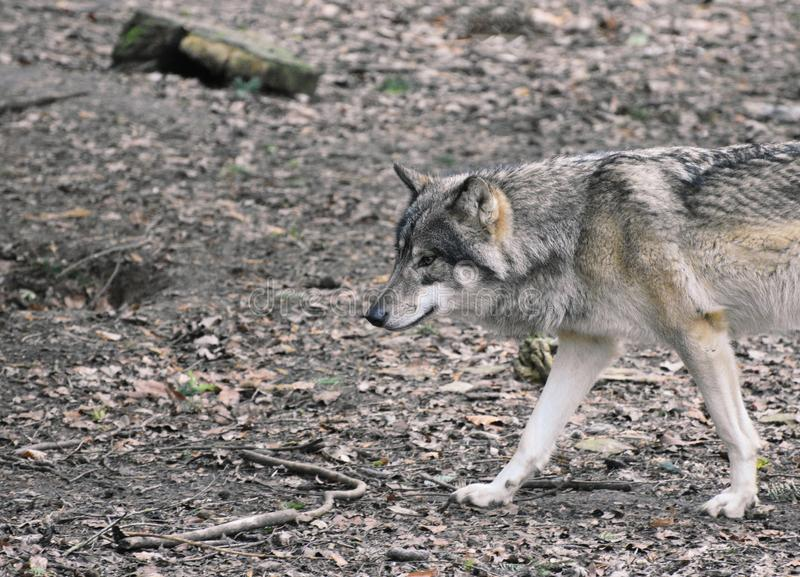 A wolf walking through a forest. A lone wolf walks through a forest. Image has space for text or copy stock photos