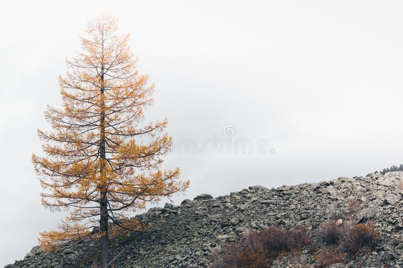 Lone yellow larch tree royalty free stock photography