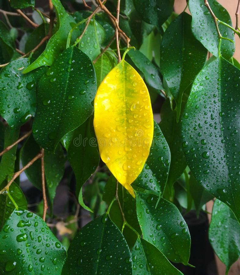Lone yellow leaf between green stock image