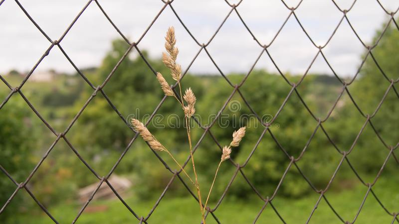 A lone yellow spike grows next to the grid fence stock photo