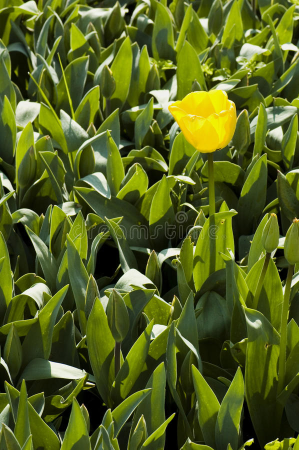 Free Lone Yellow Tulip Stock Images - 12128744
