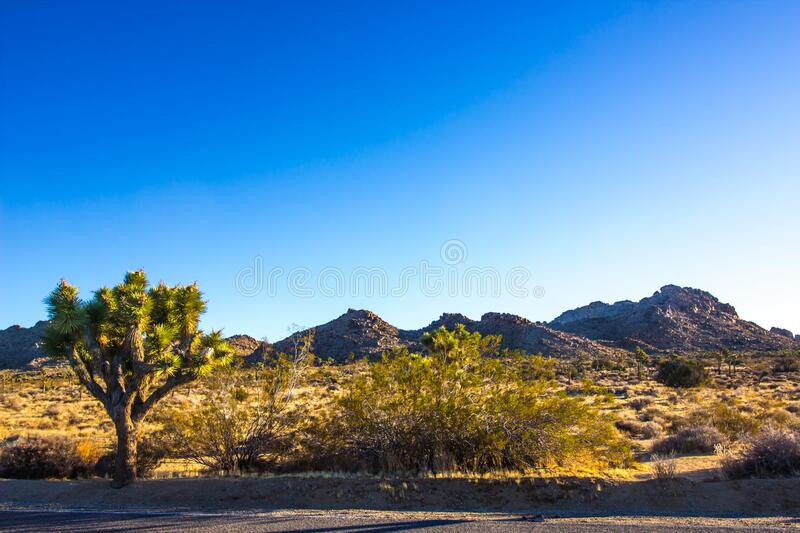 Lone JoshuaTree At Sunrise In High Desert. Lone Joshua Tree Located In High Desert With Early Morning Sunrise stock image