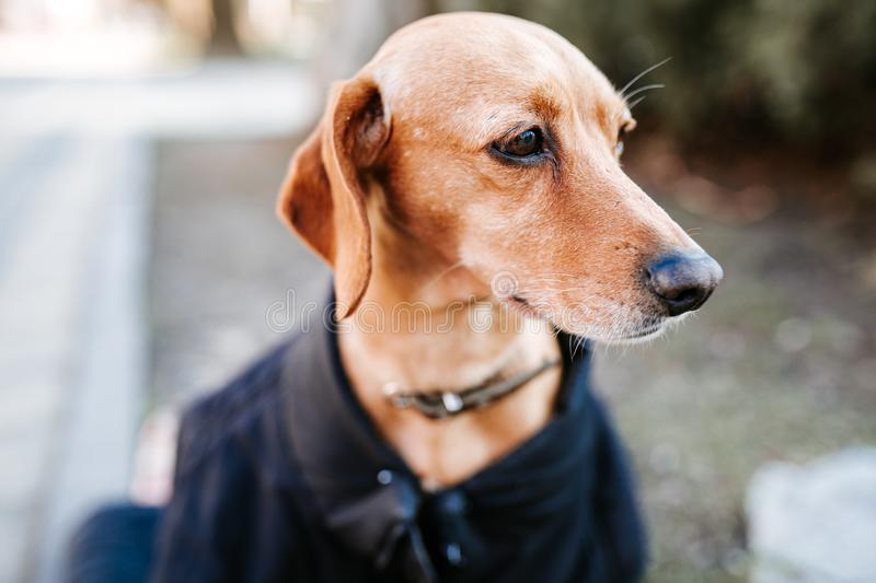 Lonely abandoned homeless hungry stray dog with grief face sitting on street in cold weared in jacked, beg for food royalty free stock photography