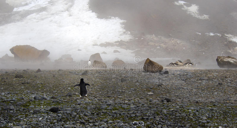 Lonely adelie penguin in Antarctica royalty free stock image