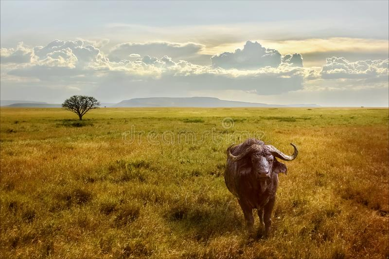 A lonely African buffalo in the Serengeti National Park against the backdrop of a beautiful sunset sky. Africa. royalty free stock photo