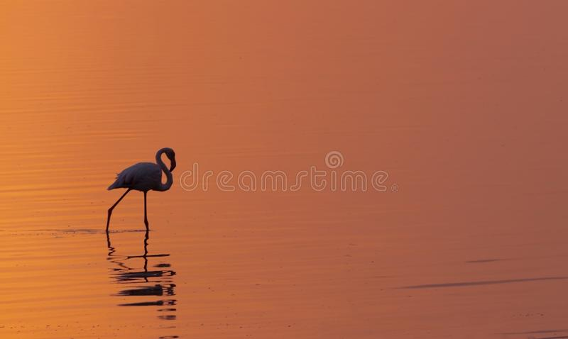 Lonely african flamingo bird against a bright golden sunset. Lonely african flamingo bird stands on a lake against a bright golden sunset royalty free stock images